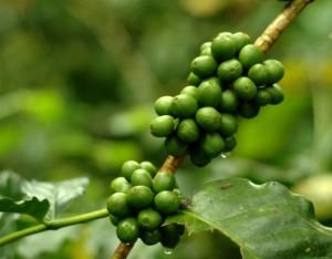 12112881-pure-green-coffee-bean