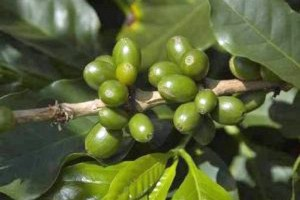 green-coffee-beans3-300x200