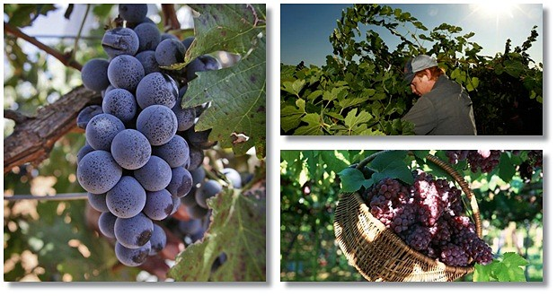 The Complete Grape Growing System Review