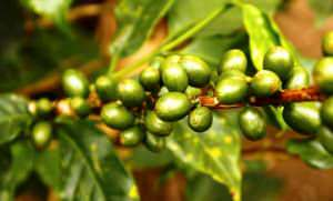 green-coffee-48-300x181
